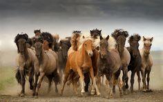 herd of Icelandic horses