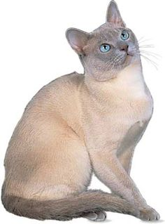 Tonkinese Cat Breed, Is Tonkinese the right cat breed for you? Learn about Tonkinese cat breed characteristics like: appearance, Temperament, Care and Grooming, Shedding and more. I Love Cats, Crazy Cats, Cool Cats, Siamese Cats, Cats And Kittens, Tonkinese Cat, Gatos Cool, Beautiful Cats, Softies