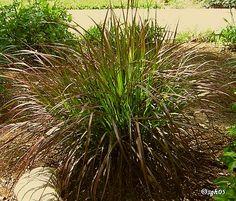 ornamental grasses | AA Tex Lawn News to Know