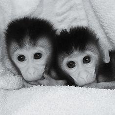 Genome Editing: a pair of macaque monkeys have been with precise genetic mutations, through vitro fertilization.   his group hopes to create monkeys with Parkinson's, among other brain disorders. The aim would be to look for early signs of the disease and study the mechanisms that allow it to progress. Speculation about this sort of gene mutation in humans is obvious but the researchers say that's a long way to go.