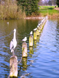 The heron waits daily for his treat from a lady who brings fresh fish to the Serpentine, just by Peter Pan. Looks like the gulls were waiting in line!