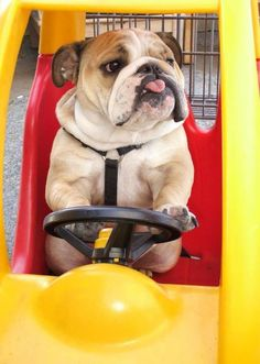 . A bulldog behind the wheel… now this may be cause for concern.