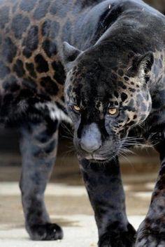 Black Panther.....
