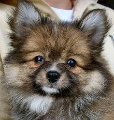 Paperanian  Designer dog = Pomeranian/Papillon mix.  We met one of these puppies yesterday and both Owen and Carson fell in love!