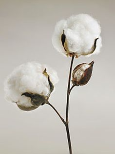 Fresh Cotton / Algodón