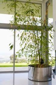 Plantar Bambu En Maceta