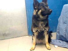 Stunning German shepherd in California shelter is on death row. Her name is Honey and the one-year-old German shepherd at the Lancaster, Calif. Animal Care and Control is the type of dog who makes fans of this breed swoon.