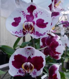 Wellsy, your first post above is for Doritaenopsis from the Monocot list, it shows the make up for Doritaenopsis (Doritis x Phalaenopsis). Description from orchidsonline.com.au. I searched for this on bing.com/images