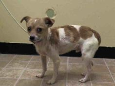 SUPER URGENT 2/19/14 Manhattan Center   FUDGEE - A0991967   NEUTERED MALE, TAN / WHITE, CHIHUAHUA SH / JACK RUSSEL TER, 8 yrs OWNER SUR - EVALUATE, NO HOLD Reason COST  Intake condition GERIATRIC Intake Date 02/19/2014, From NY 10457, DueOut Date 02/19/2014,  https://www.facebook.com/photo.php?fbid=760534523959429&set=a.617942388218644.1073741870.152876678058553&type=3&theater
