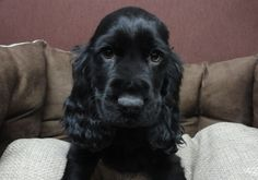 """See our web site for even more info on """"cocker spaniel"""". It is a superb area to find out more. King Charles Cocker Spaniel, Blue Roan Cocker Spaniel, Cocker Spaniel Puppies, English Cocker Spaniel, Cute Puppies, Cute Dogs, Dogs And Puppies, Shiba Inu, Beagle"""