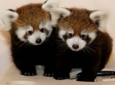Two Cute Red Panda Cubs snuggled together
