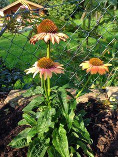 Lieschens-Bilder: Blume Sonnenhut