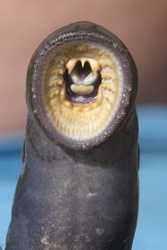 A lamprey caught at Willamette Falls. As long as Indians have lived in the Northwest, they have looked to the lamprey, a jawless, eel-like fish, for food. Under The Water, River Monsters, Sea Monsters, Deep Sea Creatures, Weird Creatures, Underwater Creatures, Underwater Life, Scary Photos, Pisces
