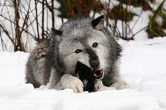 Timber Wolf (Canis lupus  occidentalis)