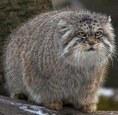 smallest wild cats