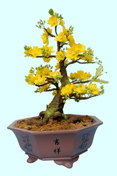 Vietnamese bonsai in Chinese pot