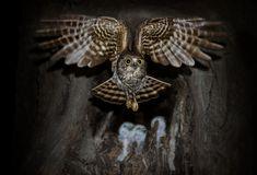 暗夜精灵 - 鹰鸮(Hawk Owl),夜行猛禽,猫头鹰的一种。夜幕降临,鹰鸮出巢,她要外出打食,养活三个嗷嗷待哺的宝宝。