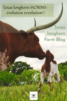 Texas longhorn cow and calf picture. One of many in our farm blog posts. #farmblog #gvrlonghorns #Texaslonghorncow #longhorncowphoto #longhorncattleforsaleinTexas Longhorn Cow, Longhorn Cattle, Cattle Farming, Livestock, Cattle For Sale, Texas Longhorns, Oklahoma Sooners, Raising Cattle, Texas Farm