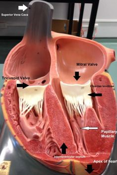 Heart Anatomy, Body Anatomy, Nursing Notes, Nursing Tips, Medical Anatomy, Cardiac Anatomy, Cardiac Nursing, Respiratory Therapy, Human Anatomy And Physiology
