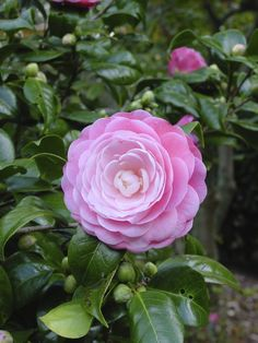 camellia-plant Camellia is one of the popular flowering shrubs that can bloom in autumn or late summer. It produces beautiful flowers and dark green foliage. Naturally a tall shrub, dwarf shrubs are also available and can be best grown in areas partially shaded and with an acidic soil.