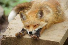Red Fox   Zao Fox Village in Japan