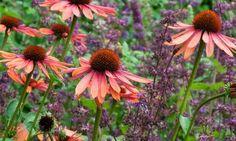 Garden ideas, Border ideas, Plant Combinations, Flowerbeds Ideas, Summer Borders, Echinacea Sundown, Coneflower, Salvia verticillata, Salvia Purple Rain, Coneflowers, Pink flowers, Purple flowers