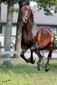 """ American Morgan Horse Association! """
