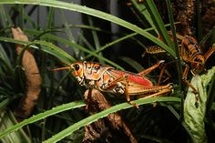 The World's Most Colorful Winged Creatures ~Eastern Lubber Grasshopper