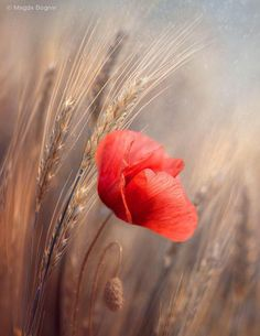 Lone poppy in a barley field. I love poppies. Love the bright red against the neutral background. Wild Flowers, Beautiful Flowers, Flower Wallpaper, Red Poppies, Belle Photo, Pretty Pictures, Flower Pictures, Flower Art, Flower Power