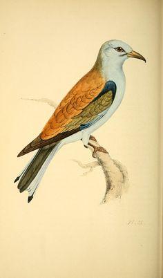Coracius garrula. Coloured illustrations of British birds, and their eggs v.1 London :G.W. Nickisson,1842-1850. Biodiversitylibrary. Biodivlibrary. BHL. Biodiversity Heritage Library