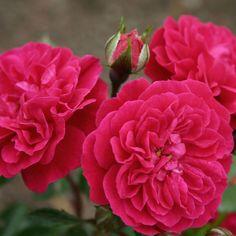 Rosen online kaufen   Roxy   rosenpark-draeger.de