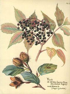 Antique Print English ELDER BERRIES tree by VintageInclination