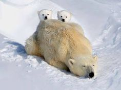 peeking over mom #polarbears