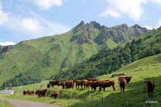 vache Salers, Salers, Auvergne