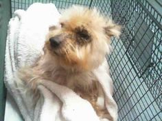 A1699201 I am a male white Yorkshire Terrier mix. The shelter staff think I am about 10 years old. I was found as a stray and I may be available for adoption on 05/23/2015. — hier: Miami Dade County Animal Services. https://www.facebook.com/urgentdogsofmiami/photos/pb.191859757515102.-2207520000.1431994694./978847102149693/?type=3&theater