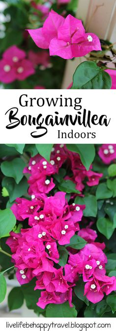Bougainvillea - bougainvillea care - how to grow indoors - tips for growing - trimming – cold tolerance – winter care