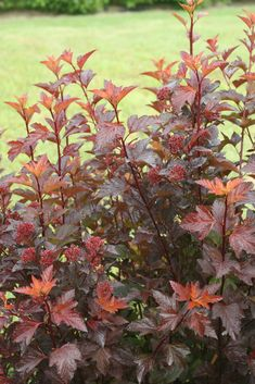 Shrubs Enjoy autumn color all season with Ginger Wine ninebark! Spring foliage emerges a sunny orange color and matures to sparkling burgundy. Clusters of white flowers cover the plant in late spring, then age to attractive red seed heads. Red Plants, White Plants, Foliage Plants, Red Shrubs, Trees And Shrubs, White Flowering Shrubs, Country Landscaping, Landscaping Plants, Small Garden Shrubs