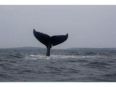 Avistamiento de ballenas jorobadas cerca de Isla Contadora, Panamá. No importa cuántas películas y documentales de las ballenas haya visto. La experiencia real las supera con creces. El mar es su hogar y su campo de juegos.