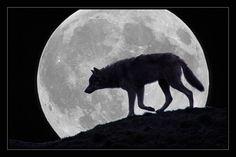 Moon Wolf--_