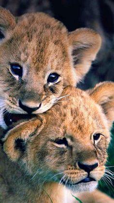 Lion cubs by Manoj Shah