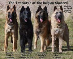 Tervueren, Groenendael, Malinois and  Laekenois