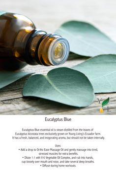 What is your favorite way to use Eucalyptus Blue? Check out Eucalyptus Blue as part of our Mini Farm Oils set in this year's Young Living Holiday. Yl Oils, Yl Essential Oils, Young Living Essential Oils, Eucalyptus Oil Benefits, L Eucalyptus, Culture Bio, Vicks Vapor Rub, Mademoiselle Bio, Herbal Oil