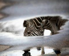 Zebra refection in water puddle in the Kruger National Park Kruger National Park, National Parks, Water Puddle, Cool Pictures, Cool Photos, Cat Activity, Male Lion, Most Beautiful Animals, Rare Animals