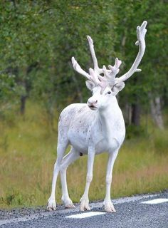 Have you ever seen an all-white reindeer? Have you ever noticed a reindeer that is not all dark brown? We spotted one in Sweden and it was an all-white reindeer! Something that we had never seen before! The Animals, Unique Animals, Baby Animals, Mercy For Animals, Albino Deer, Rare Albino Animals, Amazing Animals, Animals Beautiful, Beautiful Creatures