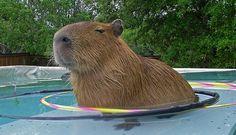 Capibaras rule.