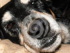 A close-up view of a sleepy old family dogs nose peaking with one eye open. Dog Nose, Family Dogs, Guinea Pigs, Cute Animals, Horses, Eye, Image, Pretty Animals, Cutest Animals