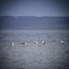 Knopsvaner ved Helnæs #visitfyn #fyn #nature #visitdenmark #naturelovers #natur #denmark #danmark #dänemark #opdagdanmark #naturegram #mitassens #spring #forår #march #natureshots #naturegram #countryside #swan #birds #sea