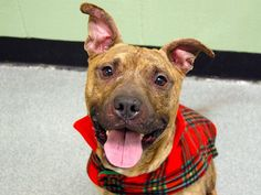SAFE !  WED 2/5/14  Manhattan Center -P  TIGER A0990398.  Male br brindle and white am pit bull ter mix. 1YR 1MTH old. STRAY 1/26/14 BABY ALERT!!! Engaging & super snuggly puppy who wants nothing more than to love and be loved. Very friendly boy. Greets every dog w/ joyful enthusiasm .House trained, needs some trainning in walking manners. Comes when called & sits nicely. Needs to gain some wt.. Tiger is simply irresistible, will you be the lucky one to take him home?