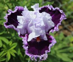 Daring Deception [I really, really want to own this spectacular tall bearded iris. The hybridizer is Tom Johnson and he introduced it in so the price has probably come down to something affordable now. Iris Flowers, My Flower, Purple Flowers, Planting Flowers, Flower Gardening, Exotic Plants, Exotic Flowers, Amazing Flowers, Beautiful Flowers