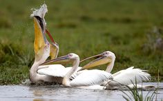 Pelicans catch a fish in a swamp in the Amboseli National Park in KenyaPicture: REUTERS/Goran Tomasevic